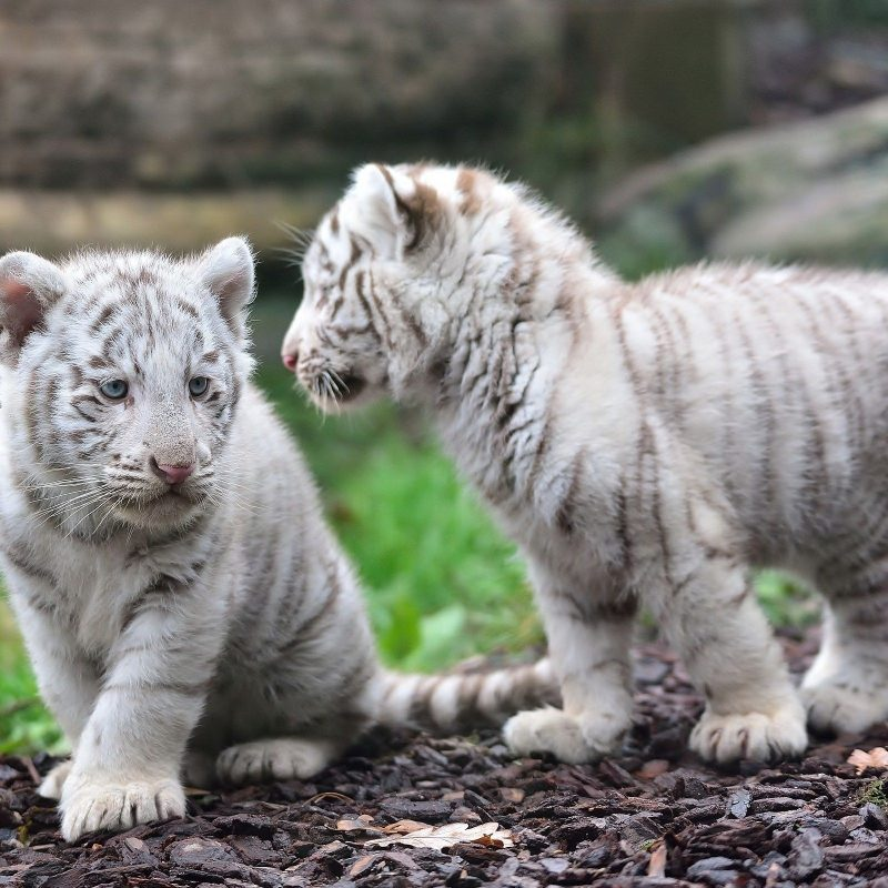 10 Most Popular Pictures Of Baby White Tigers FULL HD 1080p For PC Desktop 2018 free download animal white tiger tiger animal baby wallpaper life pinterest 800x800
