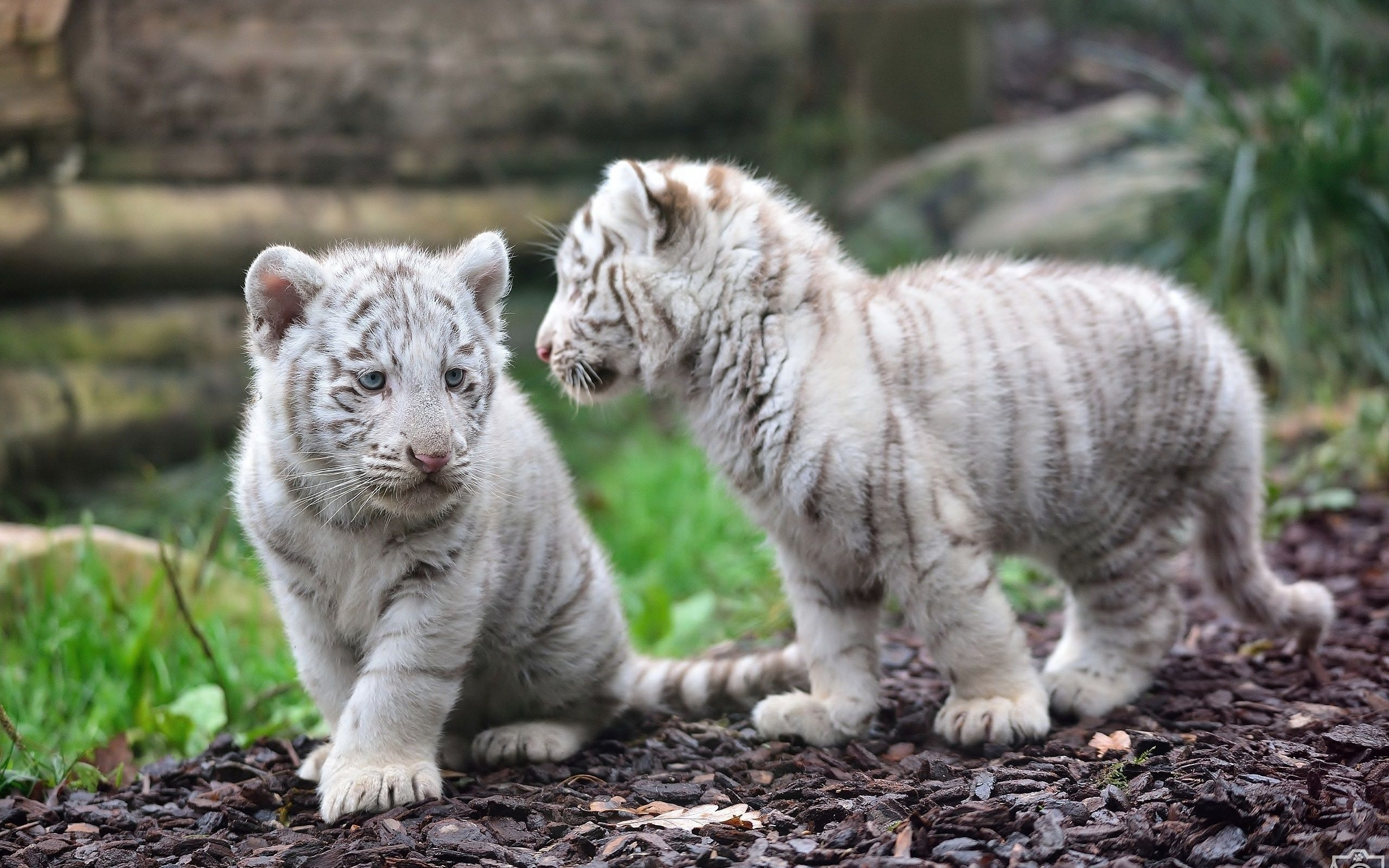 animal white tiger tiger animal baby wallpaper | life | pinterest