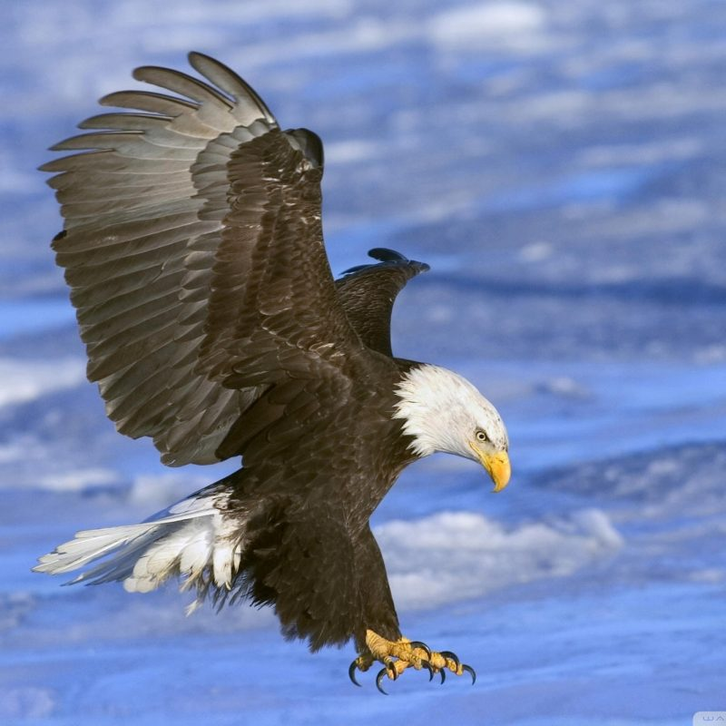 10 Best Flying Eagle Wallpaper Desktop FULL HD 1080p For PC Background 2018 free download animals birds bald eagle in flight alaska wallpapers desktop 800x800