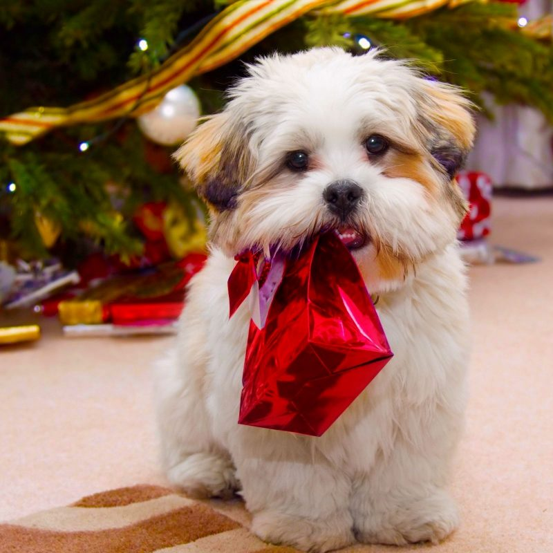 10 Top Cute Merry Christmas Wallpaper Dogs FULL HD 1080p For PC Desktop 2020 free download animals birds cute dog christmas wallpapers desktop phone 800x800