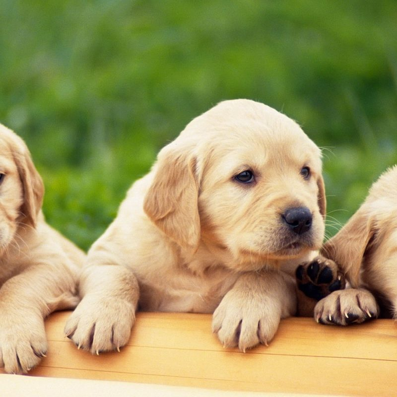 10 Best Puppies Wallpaper For Desktop FULL HD 1080p For PC Desktop 2020 free download animals birds yellow labrador puppy wallpapers desktop phone 800x800