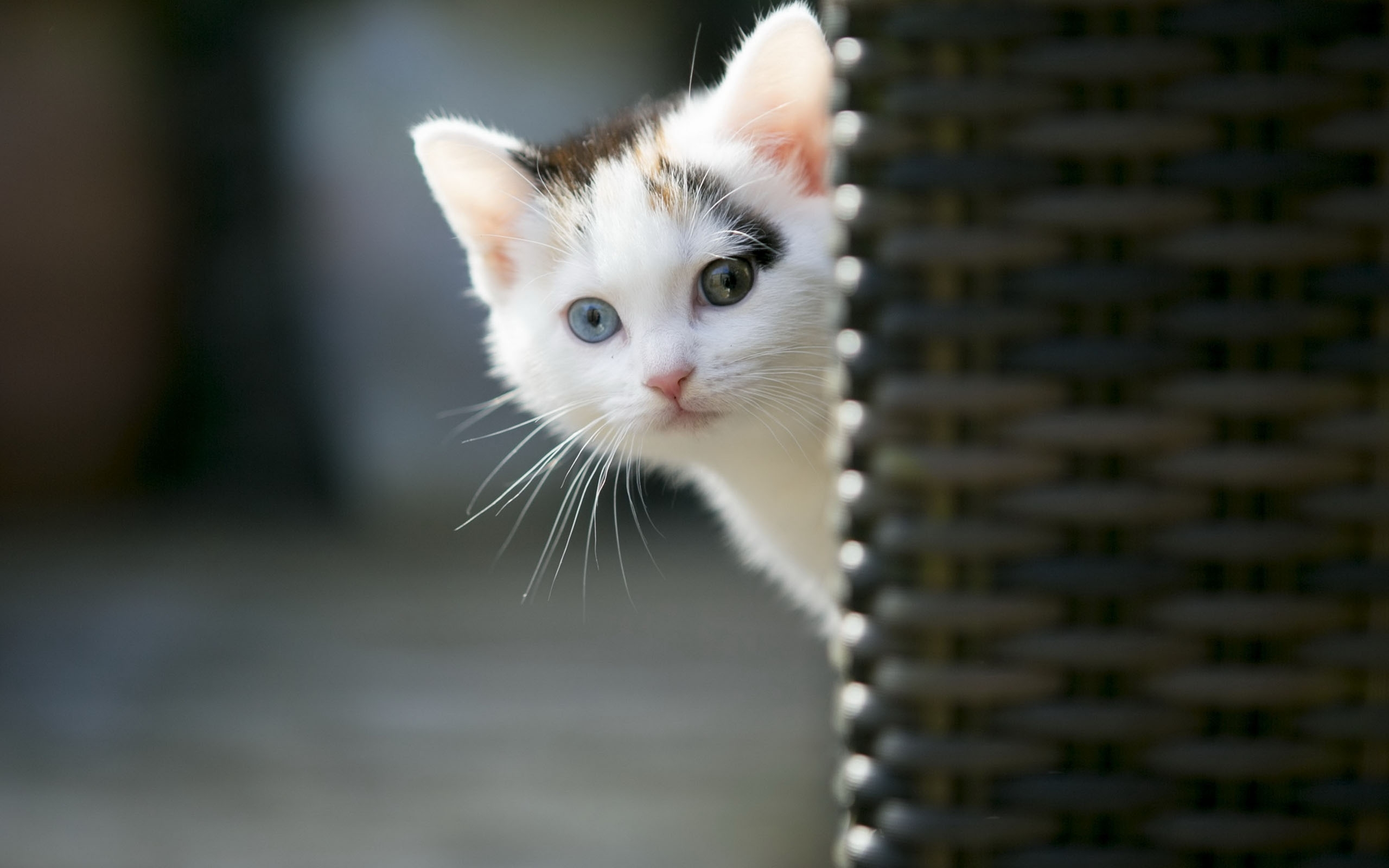 Title Animals Wallpaper Cute Cat Wallpapers Images For Hd Dimension 2560 X 1600 File Type JPG JPEG