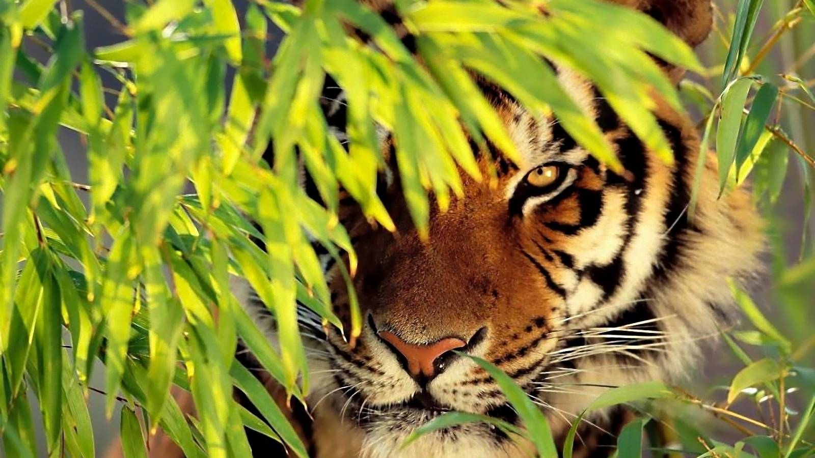 as:48 - tiger wallpapers, hq definition awesome tiger pictures