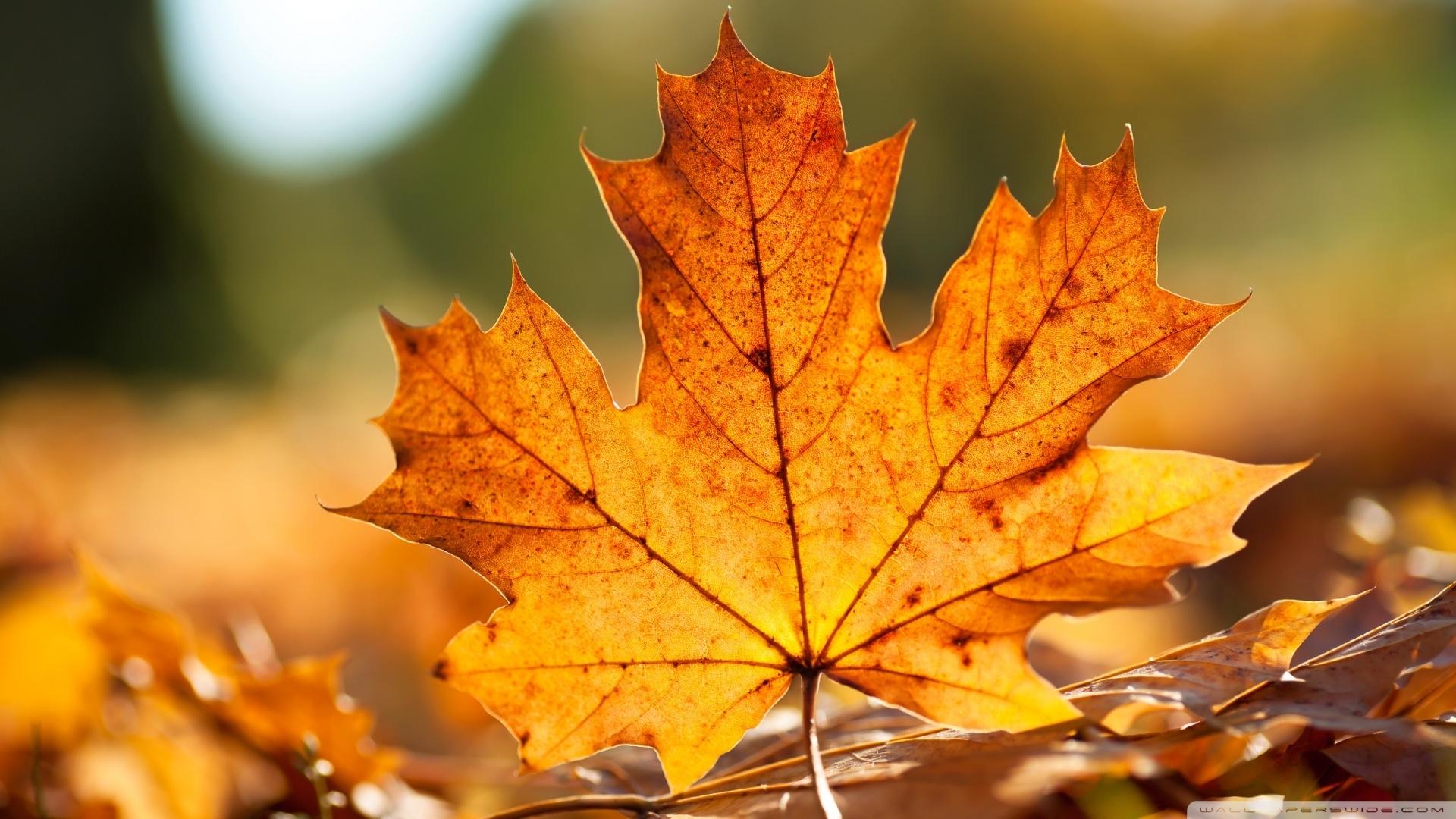 autumn leaf ❤ 4k hd desktop wallpaper for 4k ultra hd tv • wide
