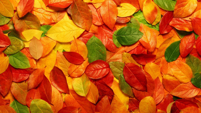 10 Latest Hd Fall Leaves Wallpaper FULL HD 1920×1080 For PC Desktop 2018 free download autumn leaves hd wallpaper wallpaper stream 800x450