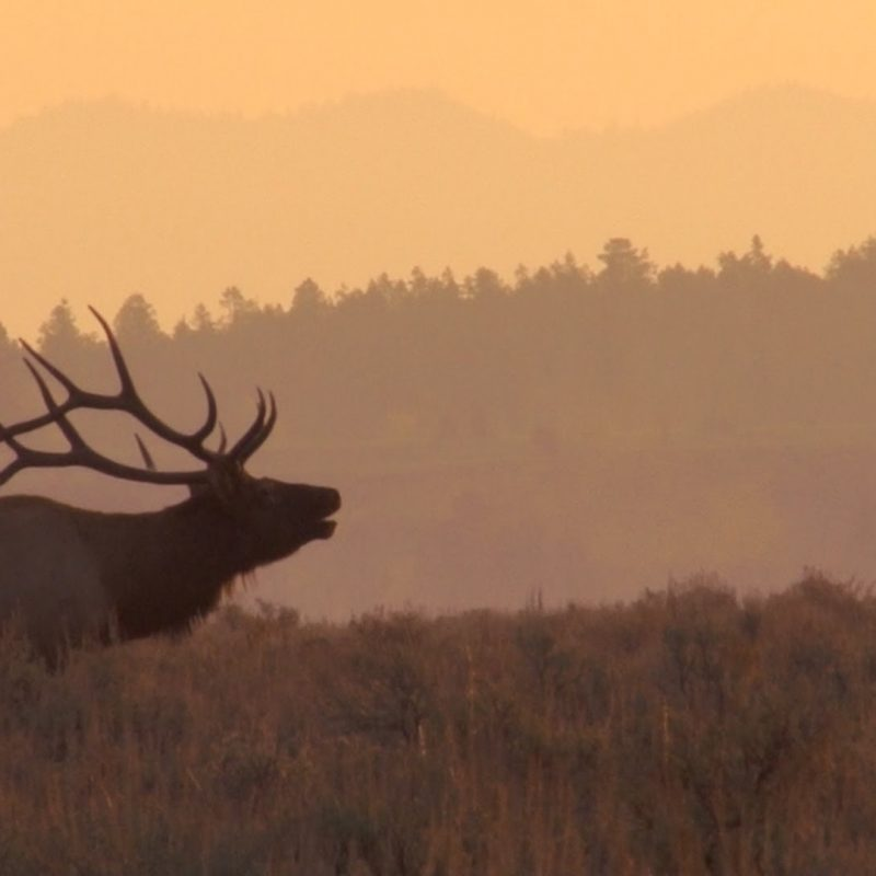 10 Top Rocky Mountain Elk Wallpaper FULL HD 1920×1080 For PC Background 2020 free download awesome bull elk bugles at sunrise youtube 800x800