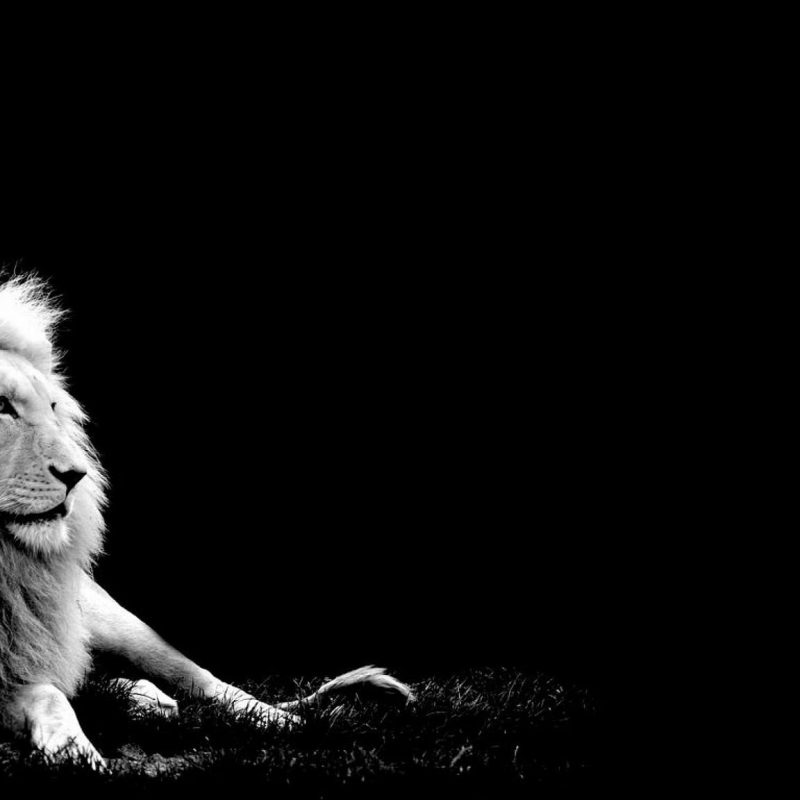 10 Most Popular Black And White Lion Background FULL HD 1080p For PC Desktop 2020 free download awesome white lion black background pictures you been exposed 800x800