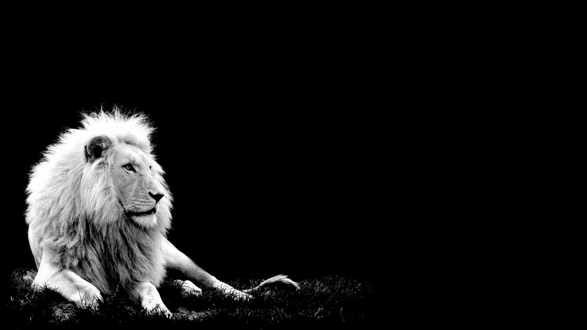 awesome-white-lion-black-background-pictures | you been exposed