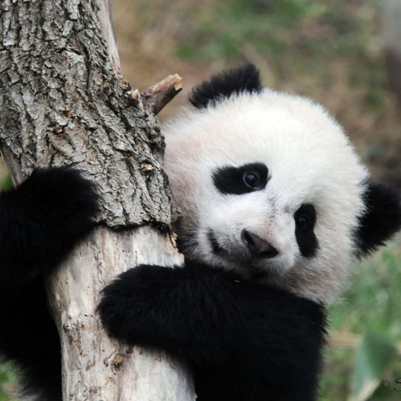 10 Best Cute Baby Panda Images FULL HD 1920×1080 For PC Background 2018 free download baby animals pandas bears baer panda cute baby animal vector for hd 800x800