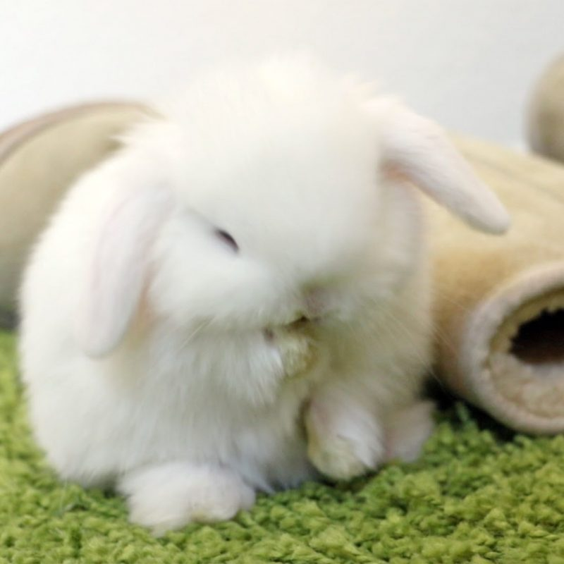 10 Most Popular Cute Baby Bunny Images FULL HD 1920×1080 For PC Desktop 2021 free download baby bunny grooming so cute youtube 800x800