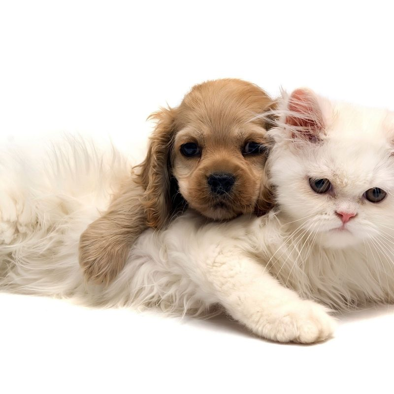 10 Most Popular Dog And Cat Wallpaper FULL HD 1080p For PC Background 2021 free download baby cats and dogs pics wallpaper big house pinterest dog cat 800x800