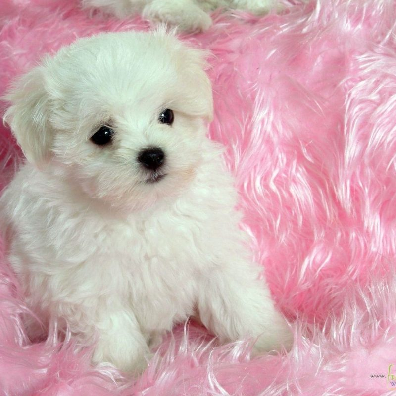 10 Latest Cute Baby Dogs Images FULL HD 1920×1080 For PC Desktop 2021 free download baby dog wallpaper for android i54 awesomeness pinterest dog 1 800x800