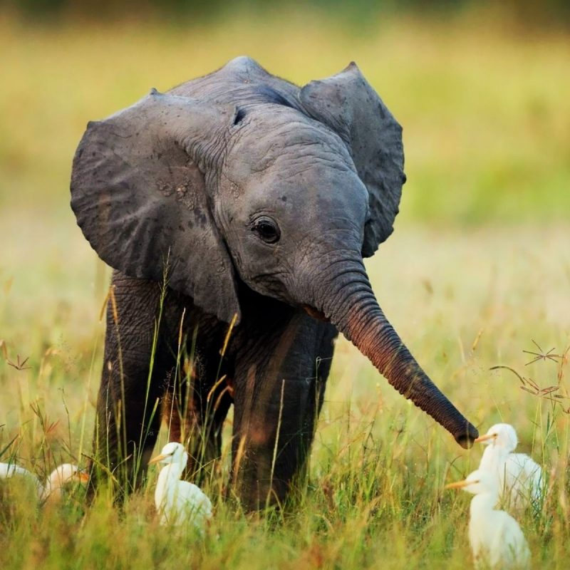 10 Top Picture Of A Baby Elephant FULL HD 1920×1080 For PC Desktop 2018 free download baby elephant and birds pictures photos and images for facebook 800x800