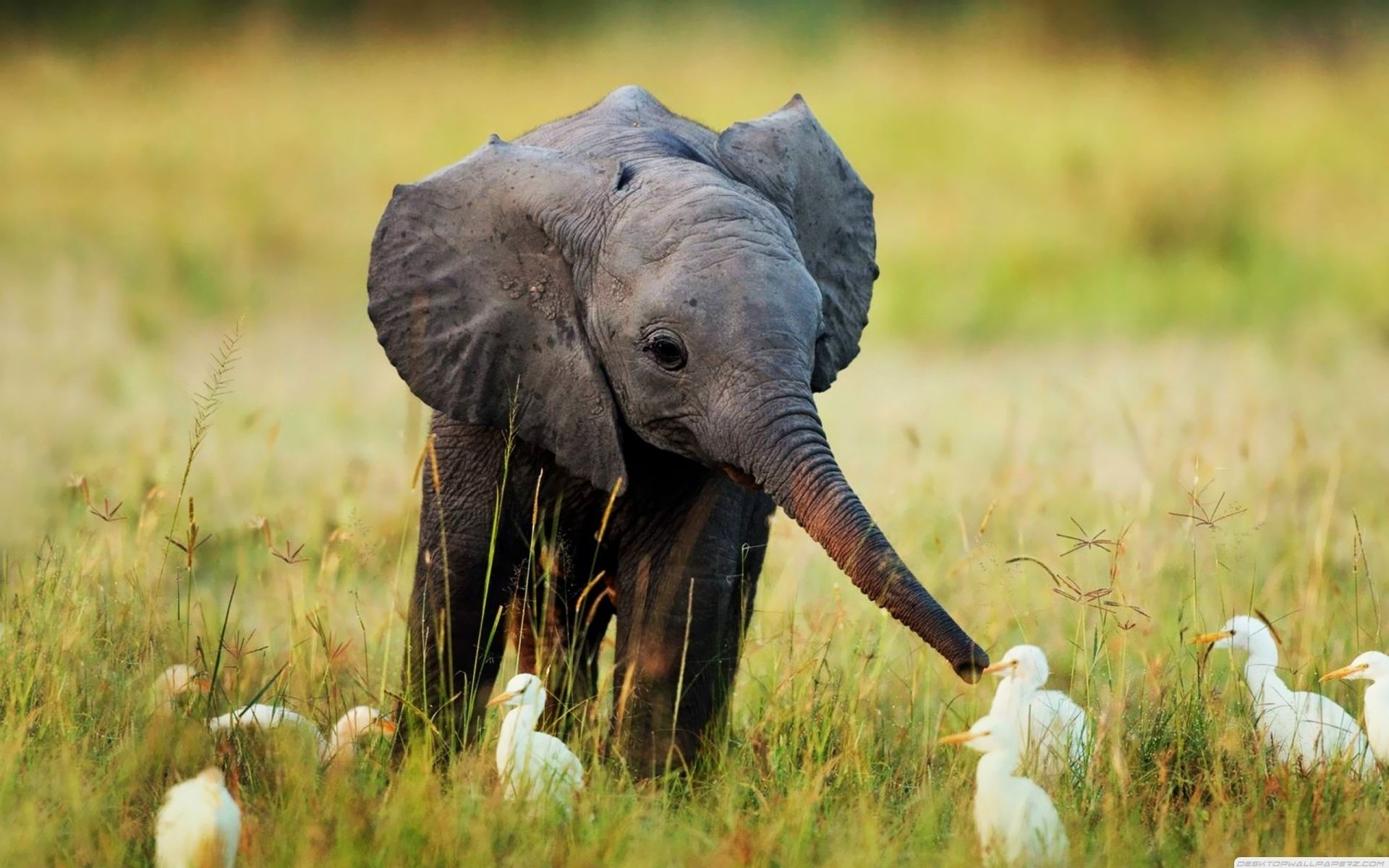 baby elephant and birds pictures, photos, and images for facebook
