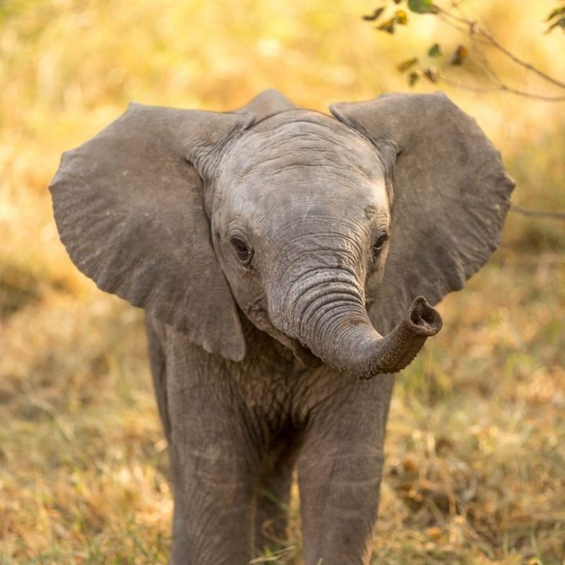 10 Top Picture Of A Baby Elephant FULL HD 1920×1080 For PC Desktop 2018 free download baby elephant animal faire pinterest animal et faire 800x800