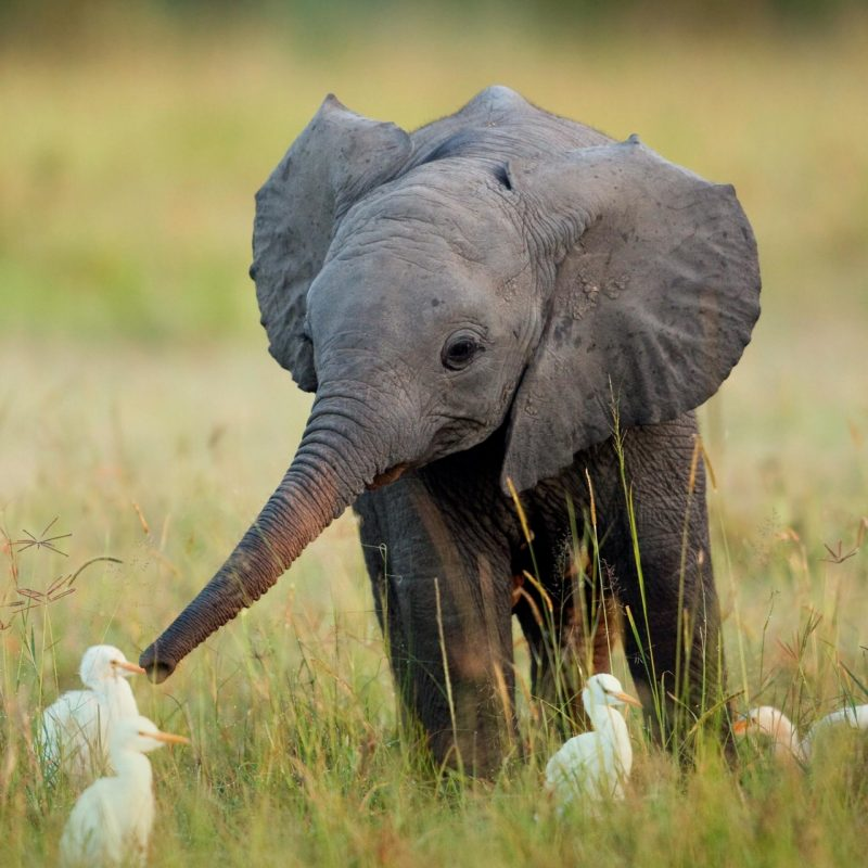 10 Top Picture Of A Baby Elephant FULL HD 1920×1080 For PC Desktop 2018 free download baby elephant egrets animals know your meme 800x800