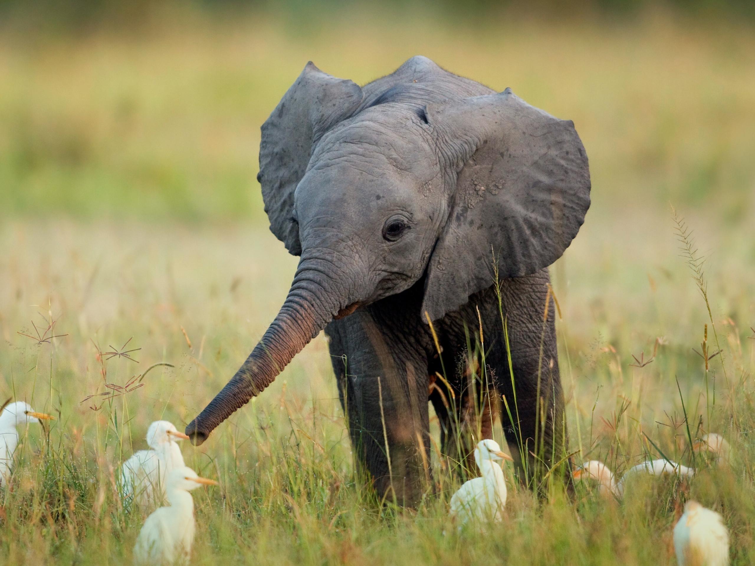 baby elephant & egrets | animals | know your meme