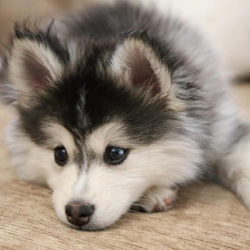 10 Most Popular Images Of Baby Huskies FULL HD 1080p For PC Background 2018 free download baby husky cutee29da4 pinterest baby huskies animal and dog 800x800