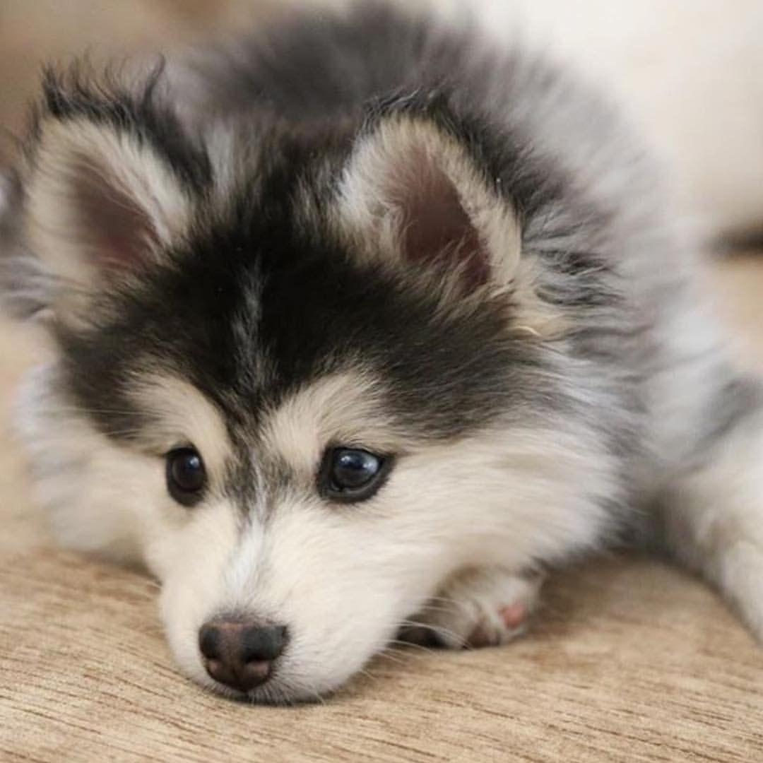 baby husky | cute❤ | pinterest | baby huskies, animal and dog