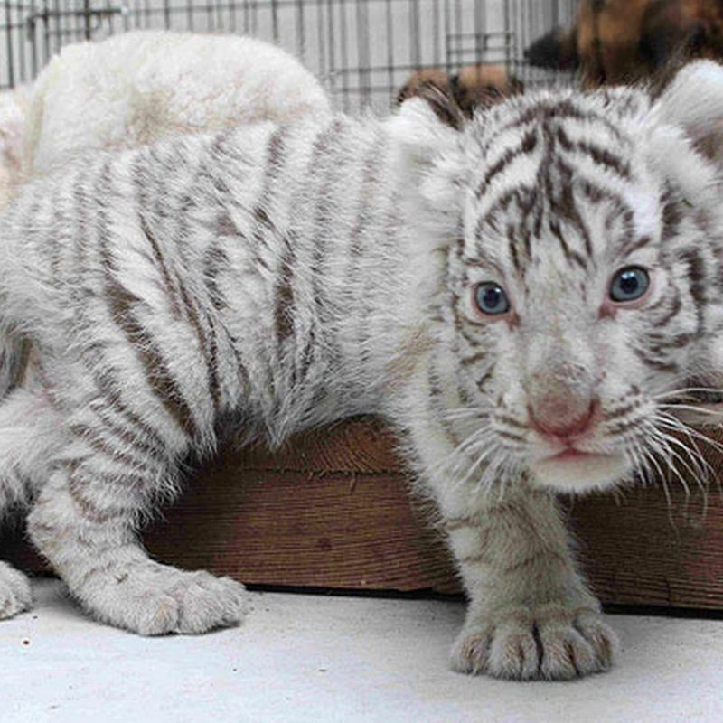 10 Most Popular Pictures Of Baby White Tigers FULL HD 1080p For PC Desktop 2018 free download baby white tiger pictures 800x800