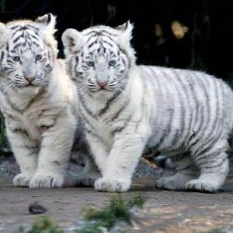 10 Most Popular Pictures Of Baby White Tigers FULL HD 1080p For PC Desktop 2018 free download baby white tiger wallpapers wallpaper cave 800x800