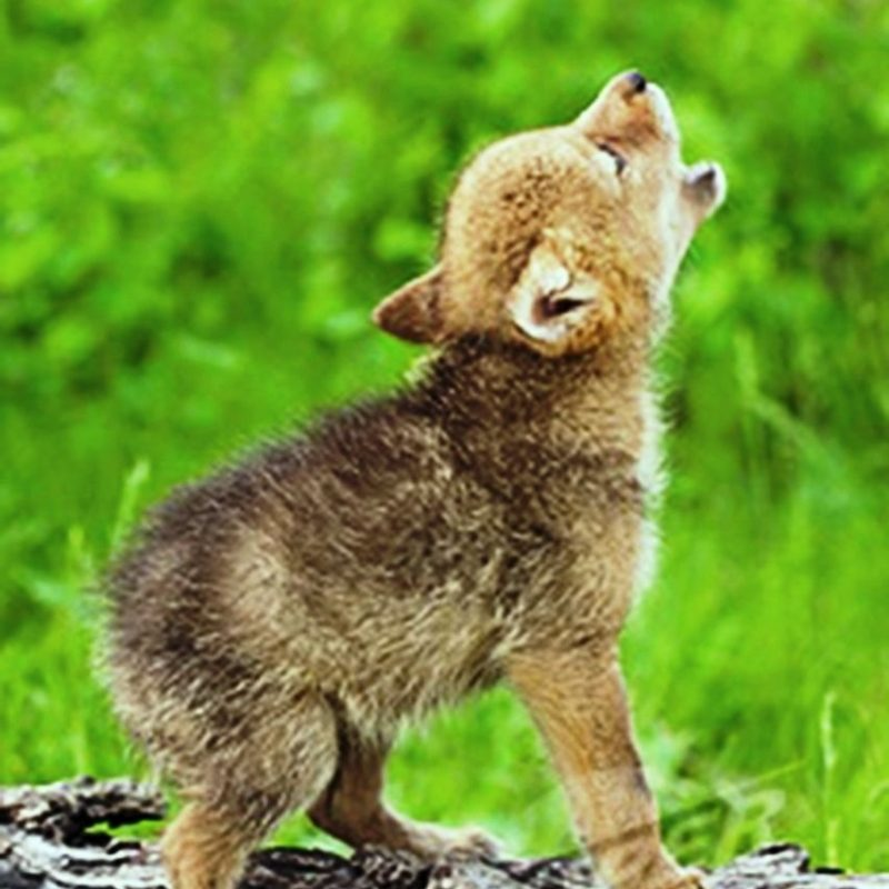 10 Latest Pictures Of Baby Wolves FULL HD 1080p For PC Desktop 2018 free download baby wolf cry wolves pinterest wolf cry baby wolves and crying 800x800
