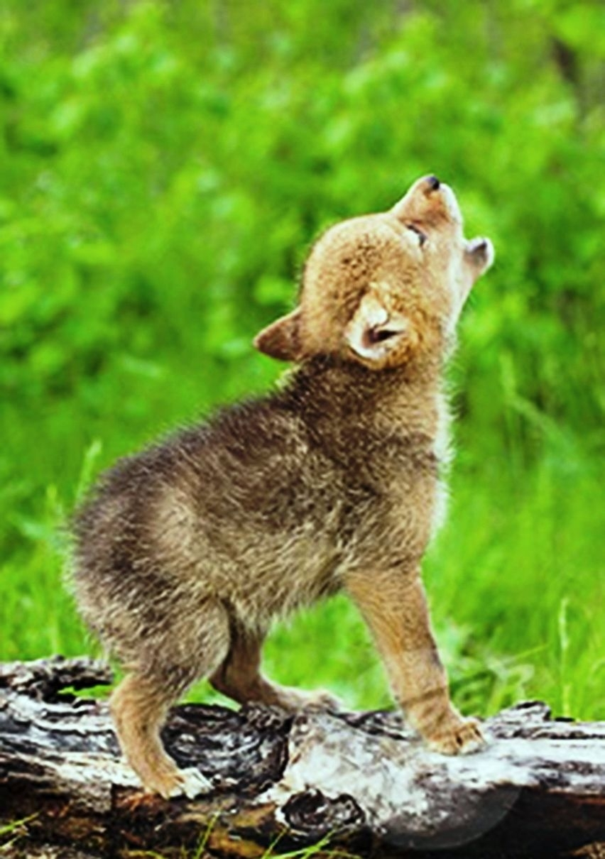 baby wolf cry. | wolves | pinterest | wolf cry, baby wolves and crying