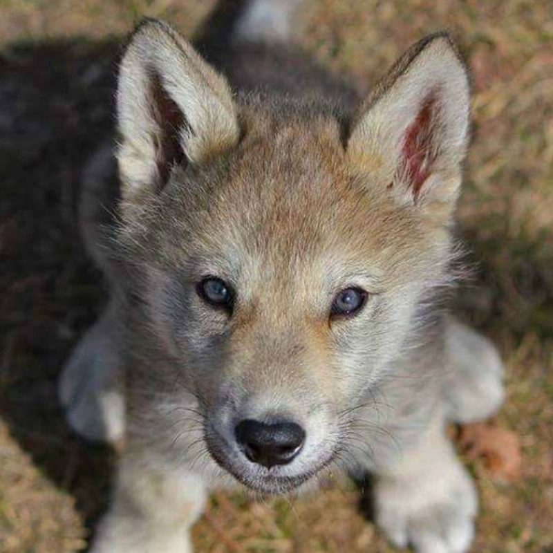 10 Latest Pictures Of Baby Wolves FULL HD 1080p For PC Desktop 2018 free download baby wolf so cute animals pinterest baby wolves wolf and 800x800
