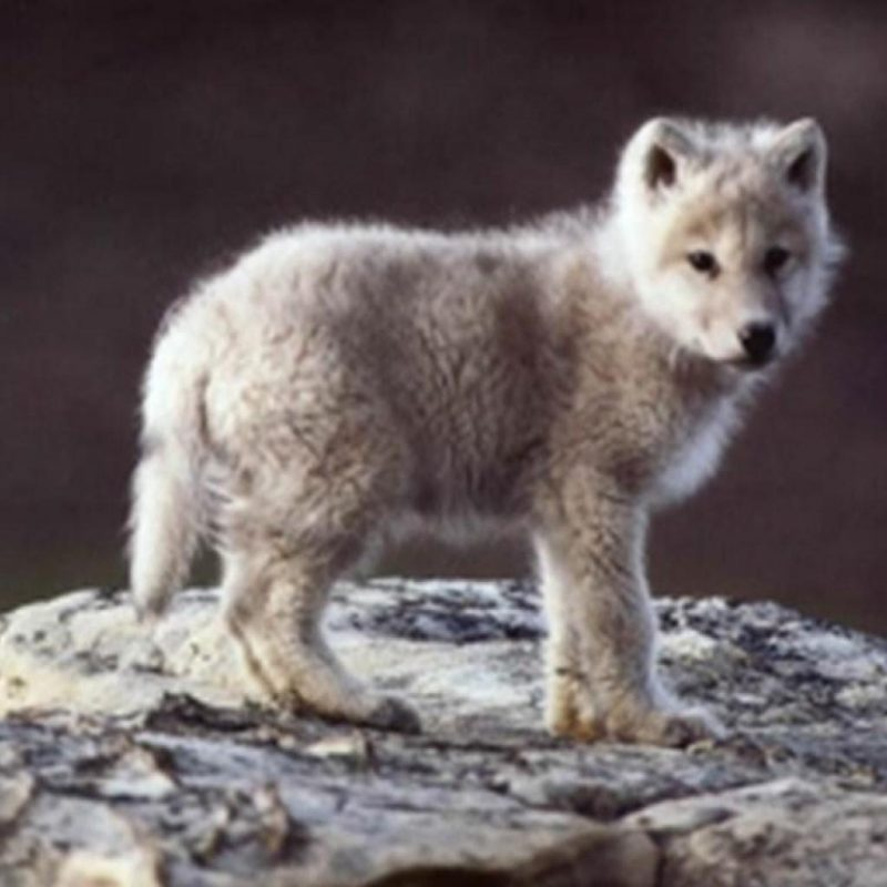 10 Latest Pictures Of Baby Wolves FULL HD 1080p For PC Desktop 2018 free download baby wolf wallpapers group 82 800x800