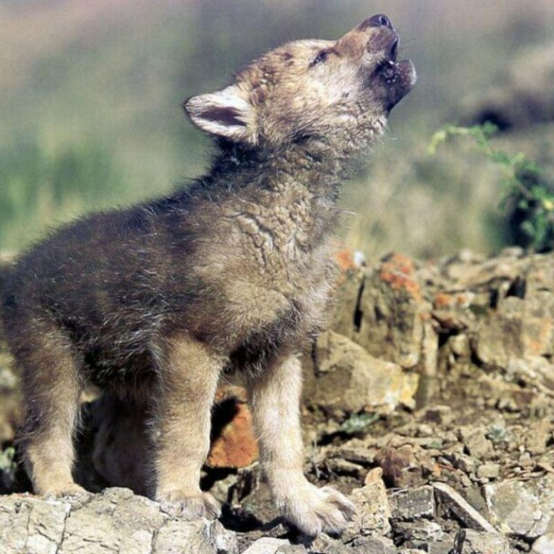 10 New Pictures Of Baby Wolfs FULL HD 1920×1080 For PC Background 2021 free download baby wolf wallpapers wallpaper cave 1 800x800