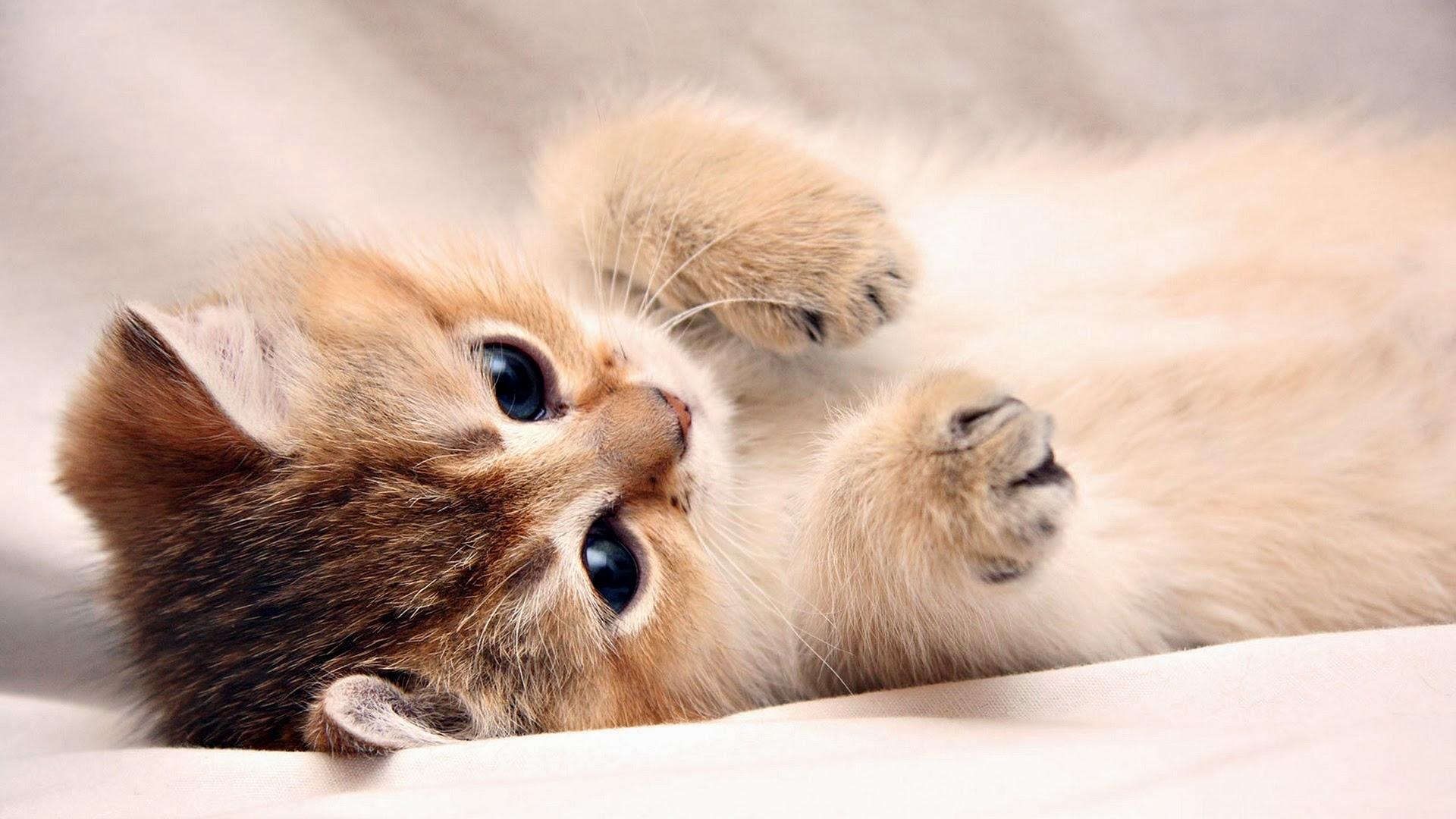 10 best hd cute cat wallpapers full hd 1080p for pc desktop 2018