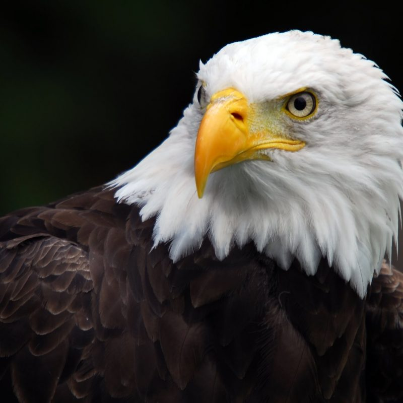 10 New American Bald Eagle Wallpaper FULL HD 1920×1080 For PC Desktop 2018 free download %name