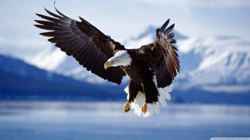10 Most Popular Bald Eagle Hd Wallpapers FULL HD 1920×1080 For PC Background 2021 free download bald eagle e29da4 4k hd desktop wallpaper for 4k ultra hd tv e280a2 wide 800x450