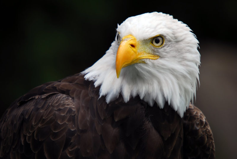 10 Most Popular Bald Eagle Hd Wallpapers FULL HD 1920×1080 For PC Background 2021 free download bald eagle hd wallpaper background image 2000x1339 id403514 800x536