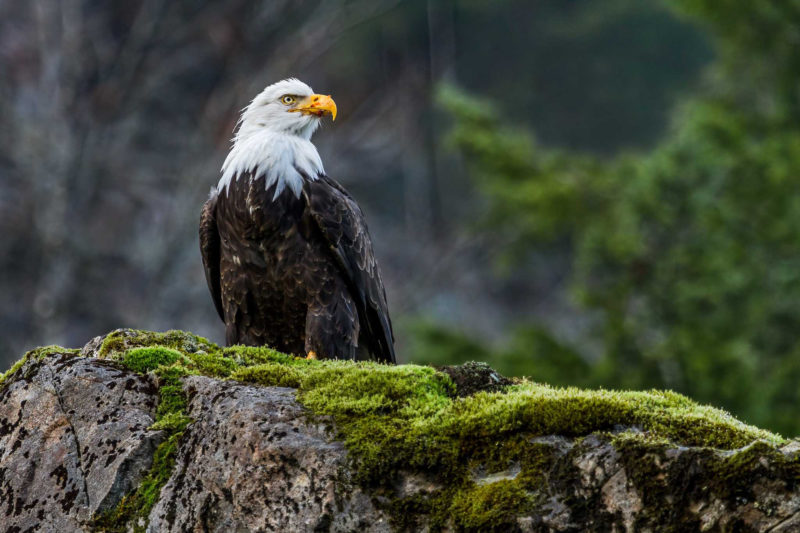 10 Most Popular Bald Eagle Hd Wallpapers FULL HD 1920×1080 For PC Background 2021 free download bald eagle hd wallpapers 2 800x533