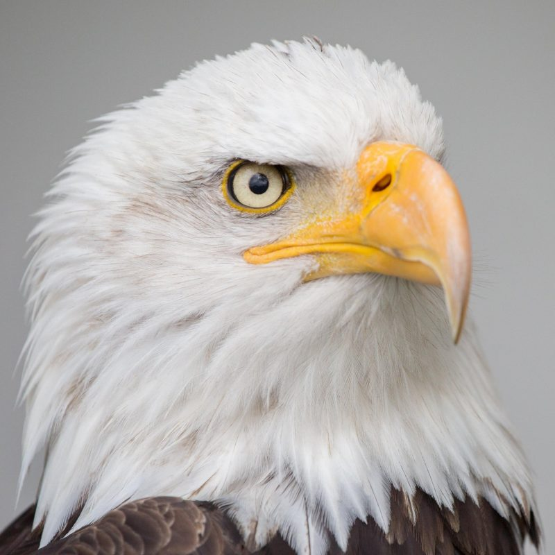 10 Best Eagle Wallpaper For Android FULL HD 1920×1080 For PC Desktop 2020 free download bald eagle wallpaper mobile desktop background 800x800