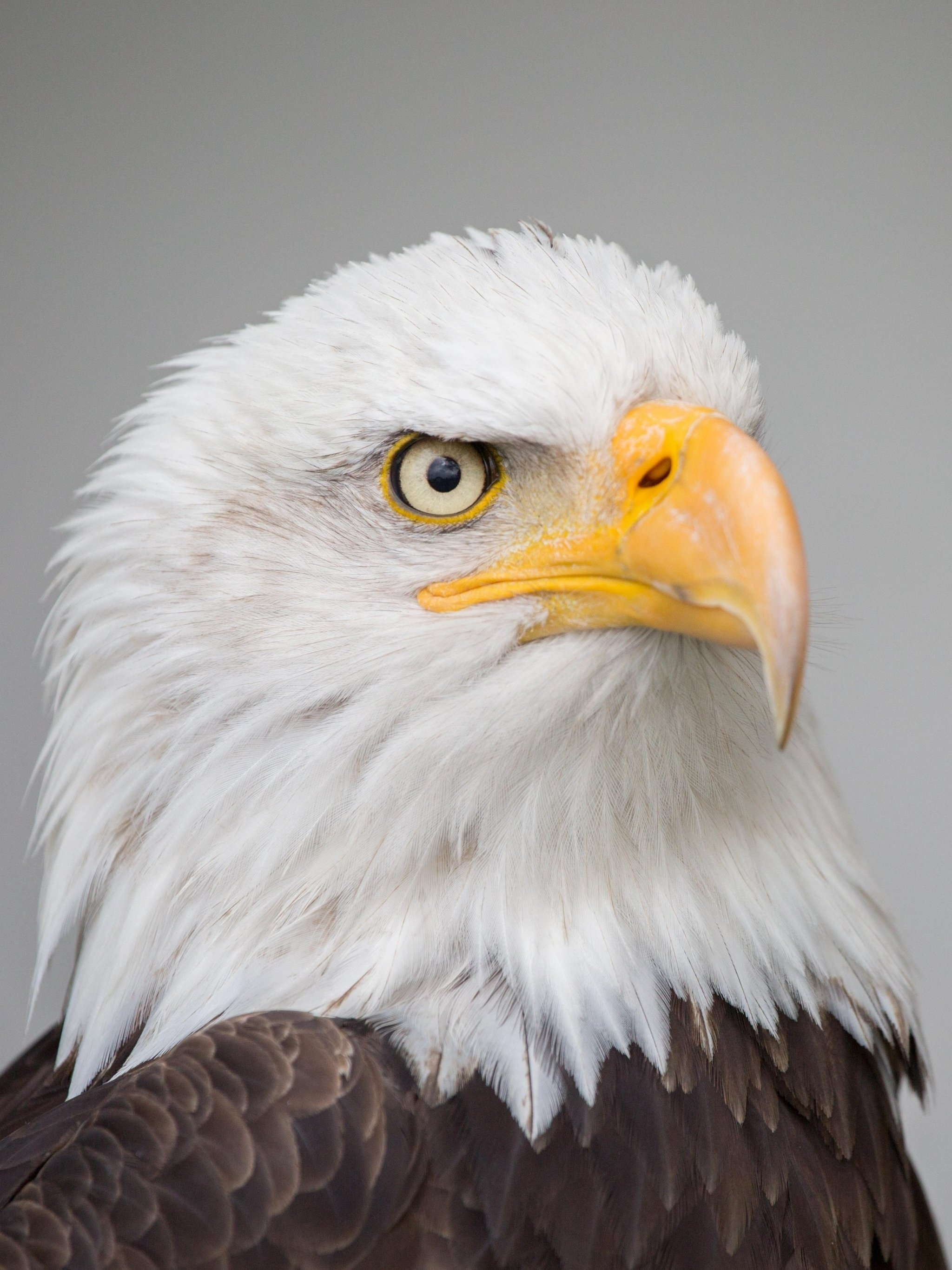 bald eagle wallpaper - mobile & desktop background