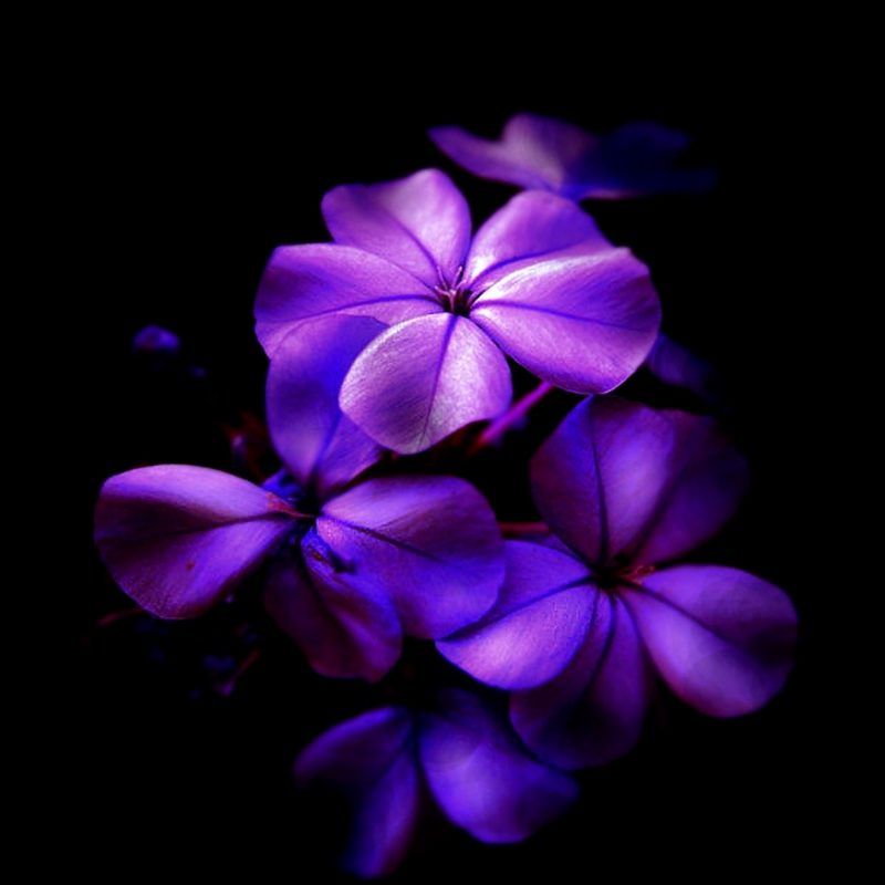 10 Most Popular Black And Purple Flower Wallpaper FULL HD 1080p For PC Background 2020 free download beautiful black purple flower wallpaper high definitions wallpapers 800x800