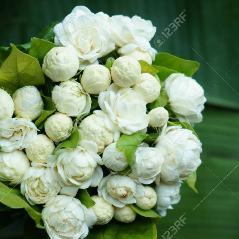 10 Latest Images Of Jasmine Flowers FULL HD 1080p For PC Background 2021 free download beautiful white jasmine flowers bouquet stock photo picture and 800x800