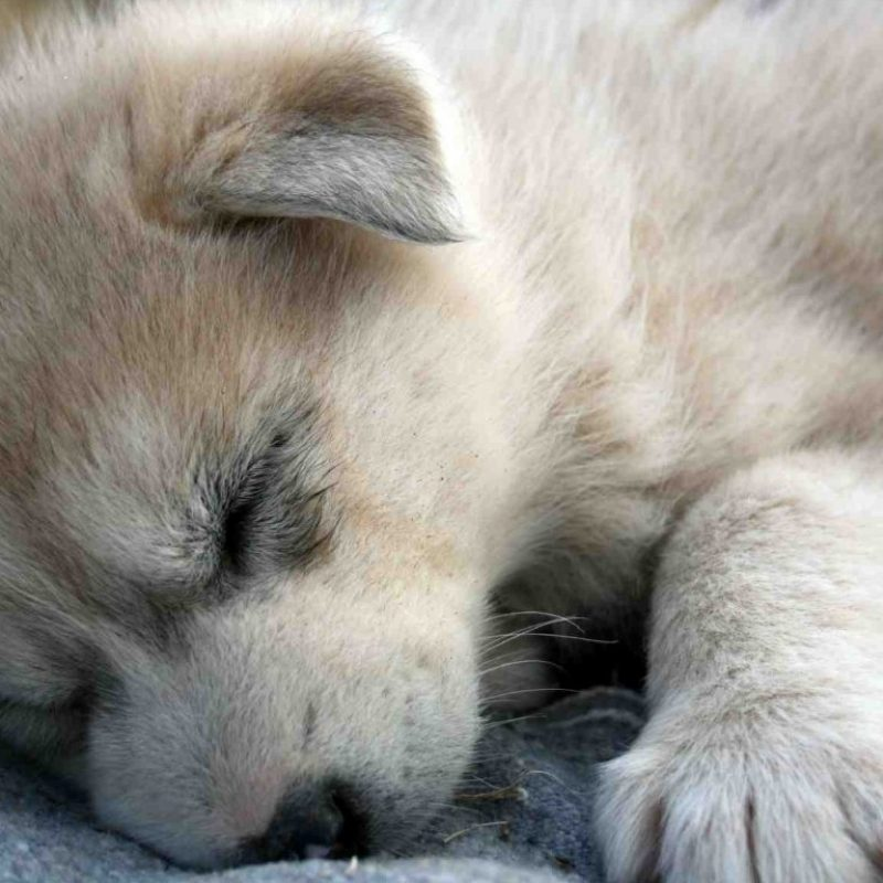 10 New Pictures Of Baby Wolfs FULL HD 1920×1080 For PC Background 2021 free download beautiful wolves they need help baby wolves wolf and baby animals 1 800x800