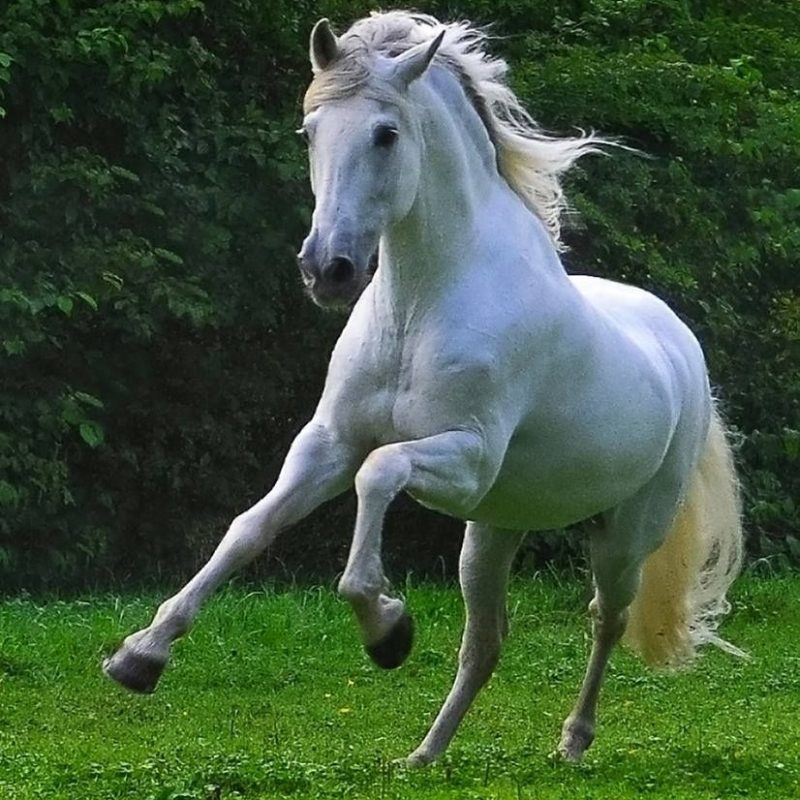 10 Latest Pictures Of White Horses Running FULL HD 1920×1080 For PC Background 2018 free download beauty in motion white horse running beautiful horses oh my 800x800