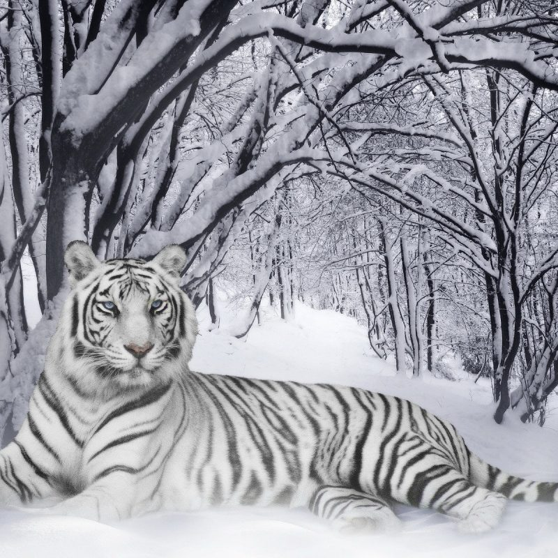 10 Top White Bengal Tigers Wallpaper FULL HD 1080p For PC Desktop 2020 free download bengal tigers wallpaper animals wallpaper 800x800