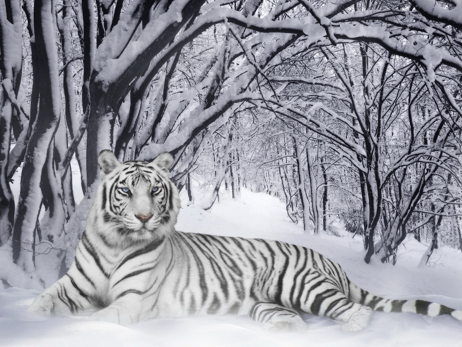 bengal tigers wallpaper animals wallpaper