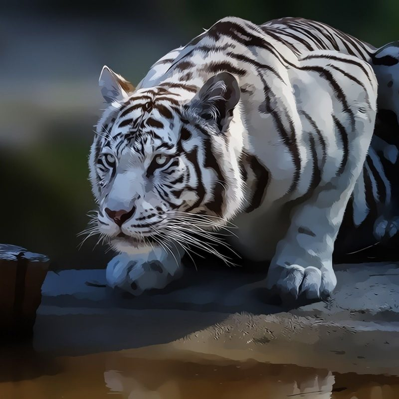 10 New White Tiger Wallpaper 3D FULL HD 1920×1080 For PC Desktop 2020 free download best bengal tiger pictures and wallpapers hd wallpapers 800x800