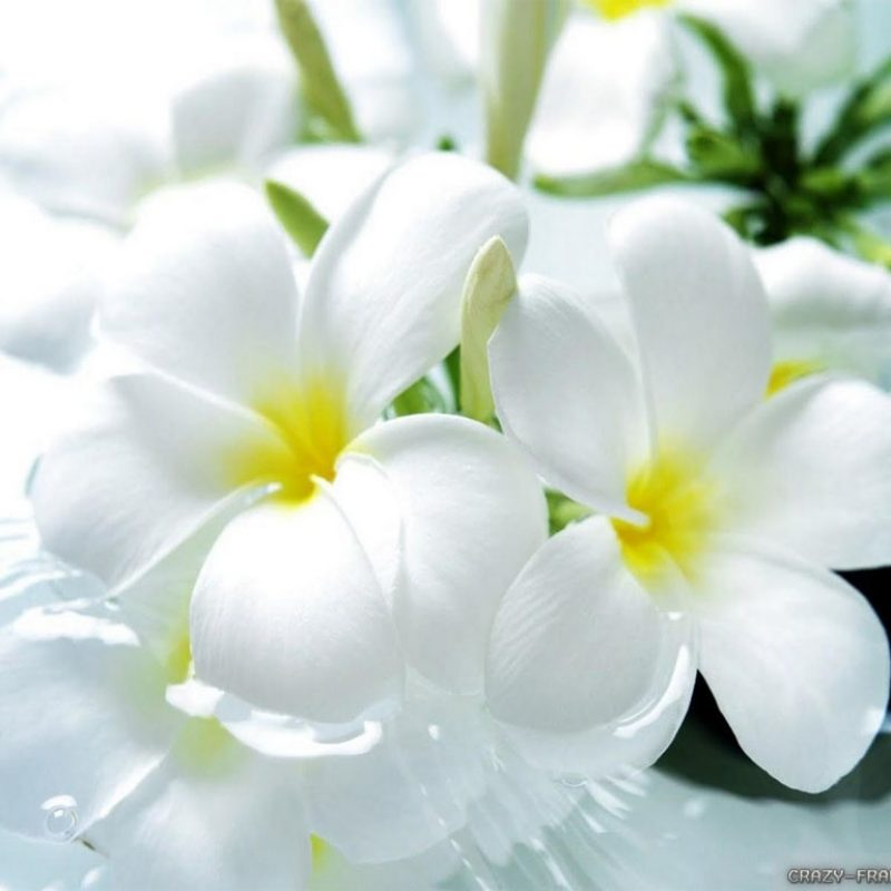 10 Latest White Flower Wall Paper FULL HD 1920×1080 For PC Desktop 2018 free download best wonderful flower wallpapers high resolution desktop llection of 800x800