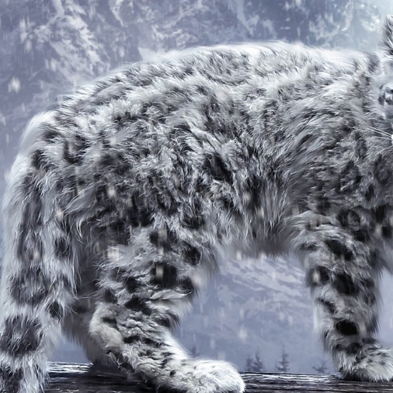 10 Most Popular Big Cat Wallpaper Hd FULL HD 1080p For PC Background 2018 free download big cat snow hd wallpapers hd wallpapers rocks 800x800
