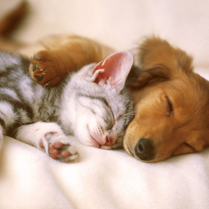 10 New Cat And Dogs Pictures FULL HD 1080p For PC Background 2018 free download big hands little paws ten tips for introducing cats to dogs without 800x800