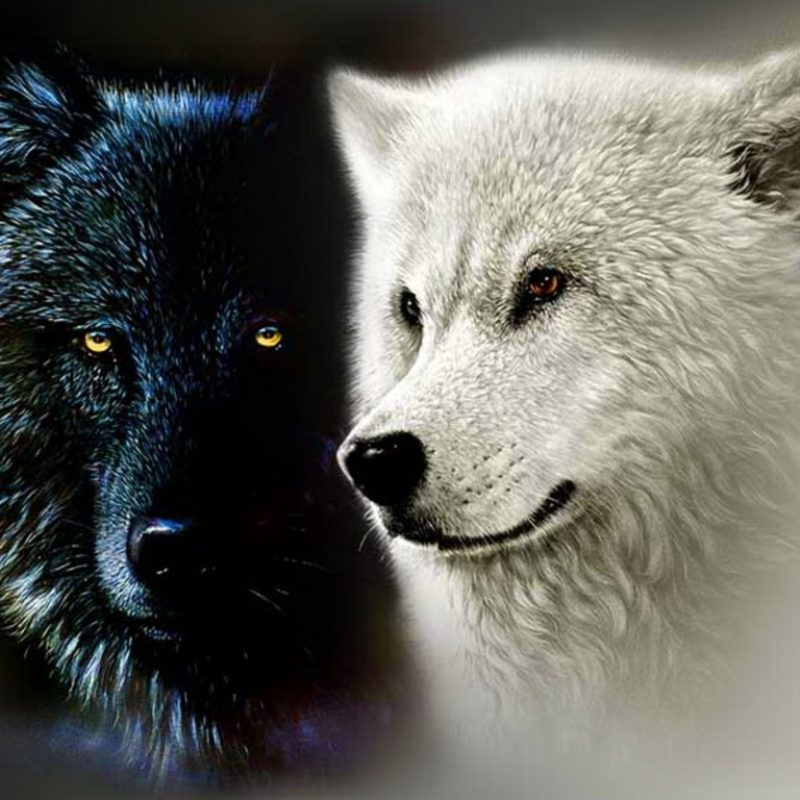 10 Top Black And White Wolves Together Wallpaper FULL HD 1080p For PC Background 2021 free download black and white anime wolves 23 wide wallpaper hdblackwallpaper 800x800