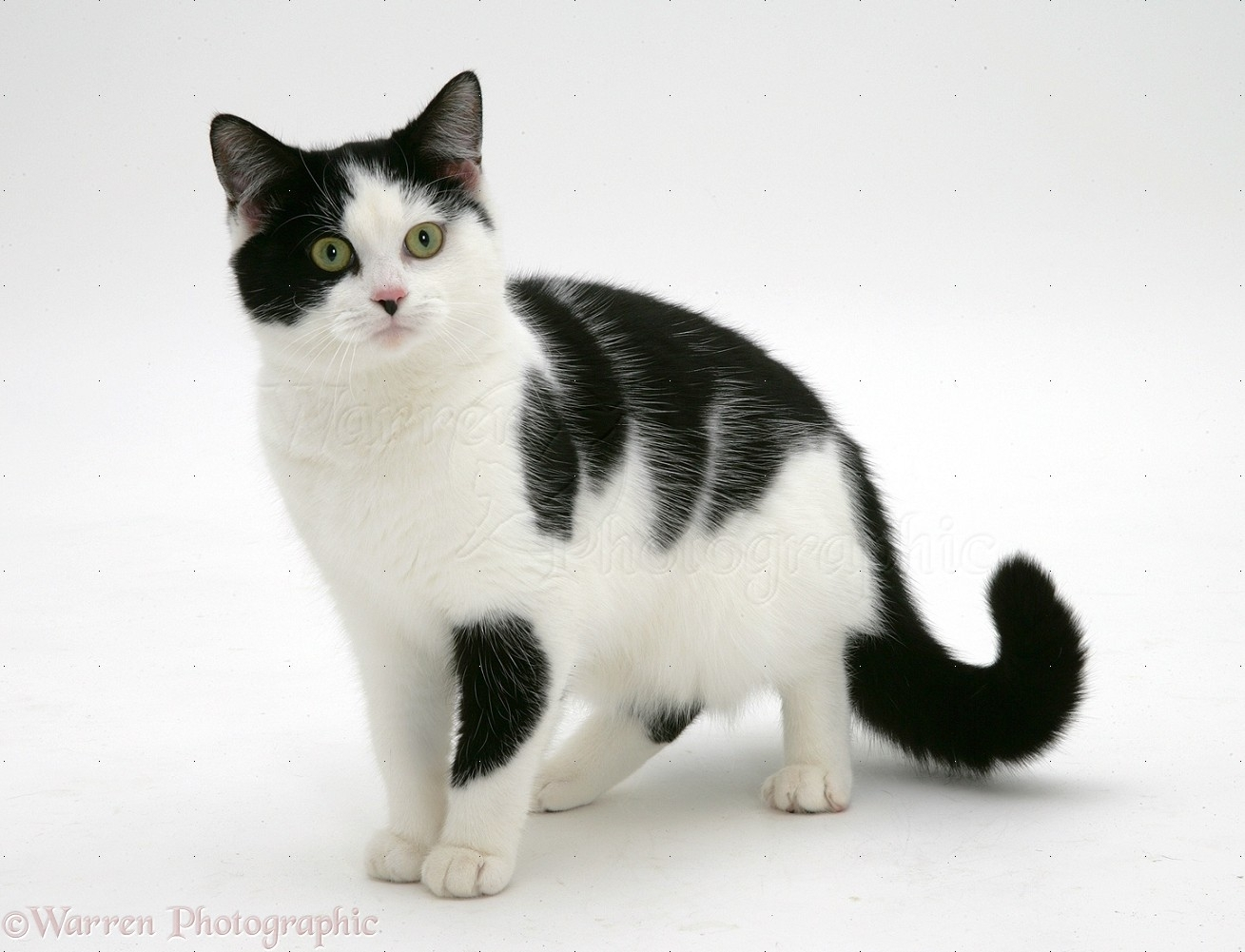 black-and-white cat photo wp26256