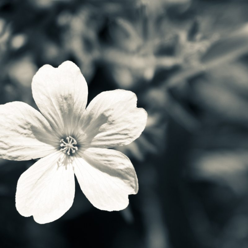 10 Latest White Flower Wall Paper FULL HD 1920×1080 For PC Desktop 2018 free download black and white flower wallpaper 2 background hdflowerwallpaper 800x800